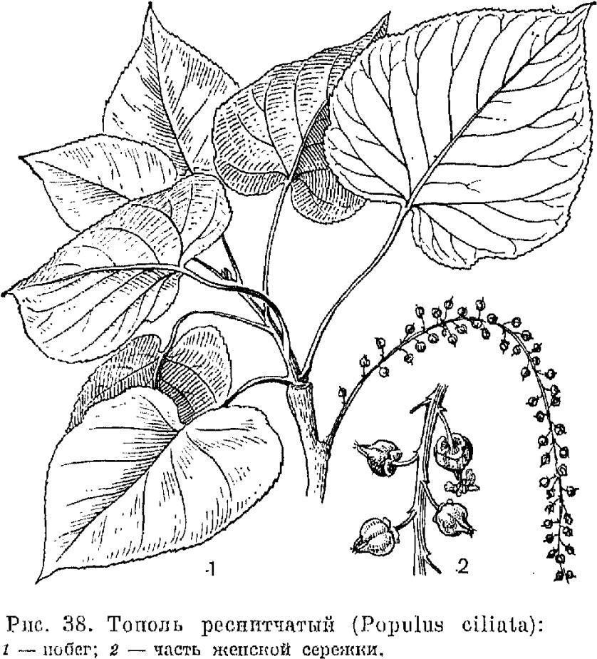 Семейство ивовые (Salicaceae)