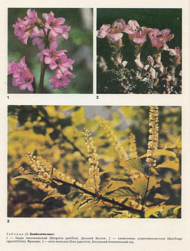 Семейство камнеломковые (Saxifragaceae)