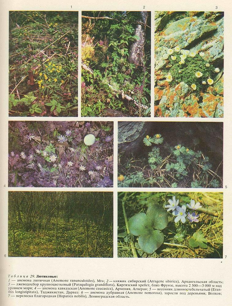 Семейство лютиковые (Ranunculaceae)