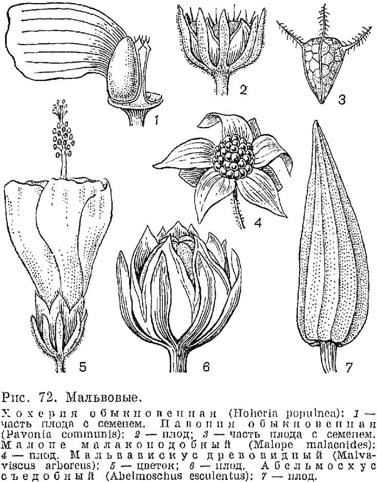 Семейство мальвовые (Malvaceae)