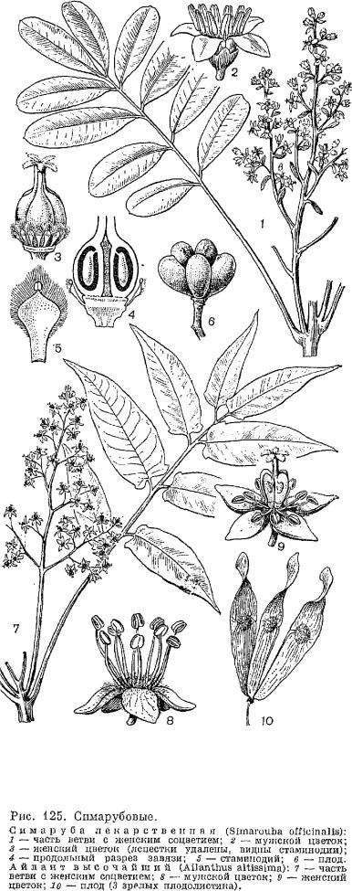 Семейство симарубовые (Simaroubaceae)
