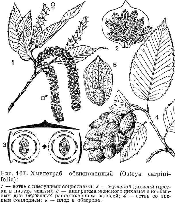 Семейство березовые (Betulaceae)